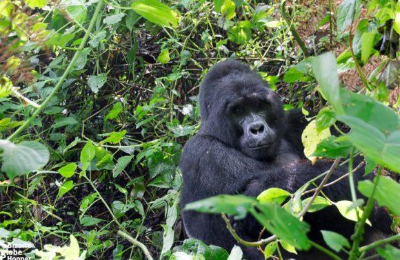 3 Days Uganda Gorilla Safari to Bwindi Forest